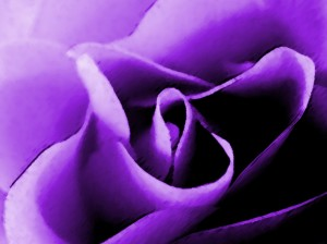 jw-purple-rose-1024x768