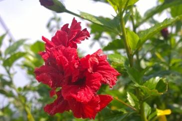 salah satu bunga di Penang Hill