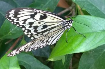 Kupu-kupu di Penang Butterfly Farm